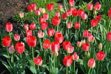 UK, Yorkshire, YORK, Museum Gardens, Tulips in bloom, UK3010JPL