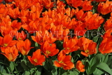 UK, Yorkshire, YORK, Museum Gardens, Tulips in bloom, UK3238JPL
