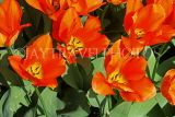 UK, Yorkshire, YORK, Museum Gardens, Tulips in bloom, UK3240JPL