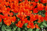 UK, Yorkshire, YORK, Museum Gardens, Tulips in bloom, UK3241JPL