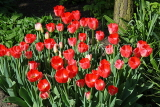 UK, Yorkshire, YORK, Museum Gardens, Tulips in bloom, UK3245JPL