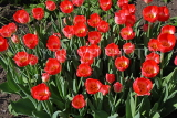 UK, Yorkshire, YORK, Museum Gardens, Tulips in bloom, UK3246JPL