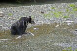 USA, Alaska, Grizzly Bear in creek at Fish Creek in Hyder, US3944JPL