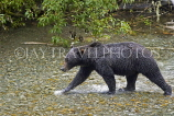 USA, Alaska, Grizzly Bear in creek at Fish Creek in Hyder, US3945JPL