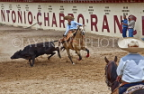 USA, Texas, SAN ANTONIO, Maxican Rodeo Fiesta, calf pulling event, US4301JPL