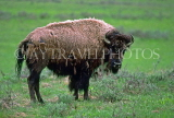 USA, Wyoming, YELLOWSTONE NATIONAL PARK, Bison, US2707JPL