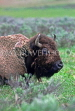 USA, Wyoming, YELLOWSTONE NATIONAL PARK, Hayden Valley, Bison, close-up, US2706JPL