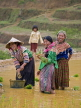 VIETNAM, Lao Cai province, Bac Ha, Hmong women planting rice at, VTJPL