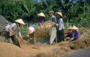 VIETNAM, Nha Trang, farmers threshing paddy (rice), VT482JPL